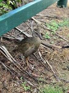 Weka, ave endémica de Nueva Zelanda