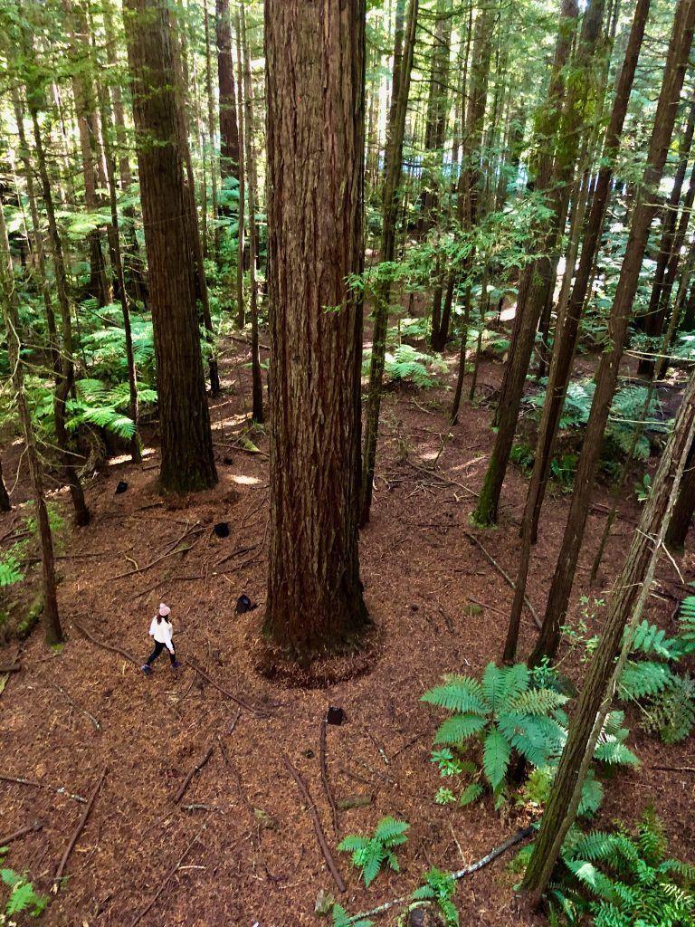 Redwoods Forest