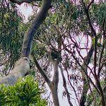 Koala en la Great Ocean Road