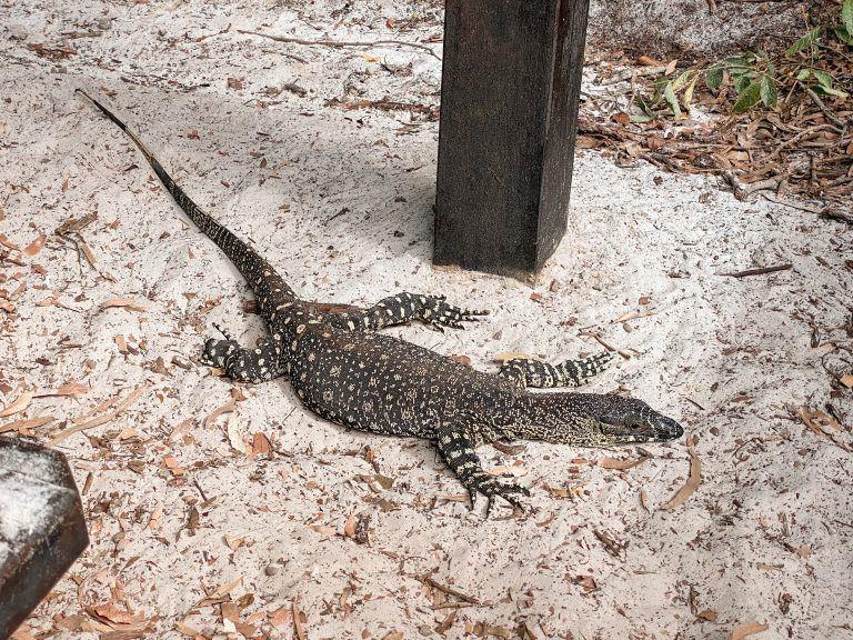 Goanna, Whitsundays reptil